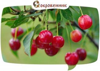Плоды вишни облегчают боль при подагре!