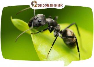 Разведчик – лучшая профессия для муравья