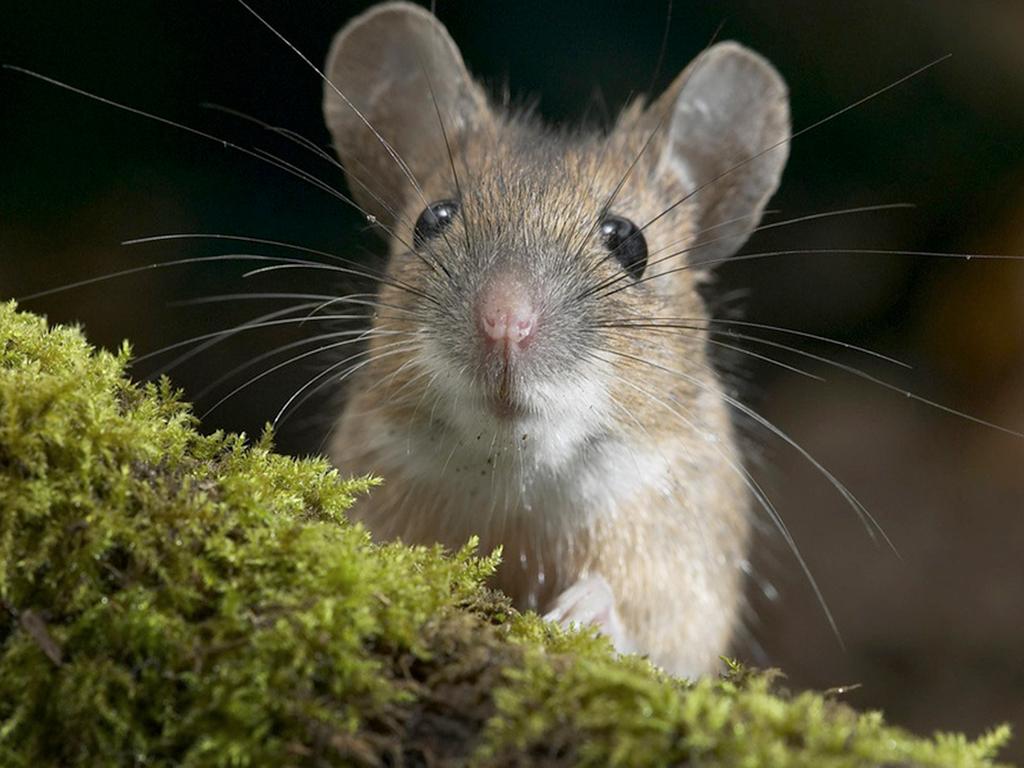 СМИ пугают новым видом «мышиного» гриппа
