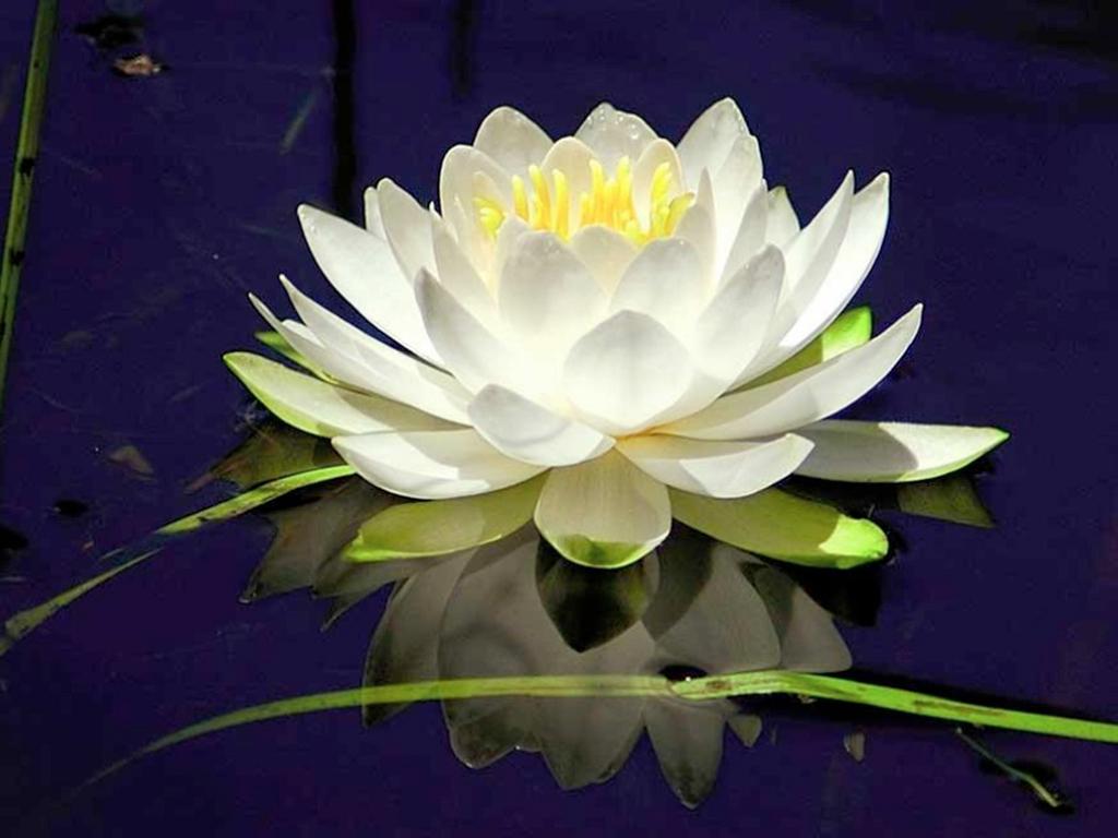 Цветок Лотоса открывает нам свои тайны