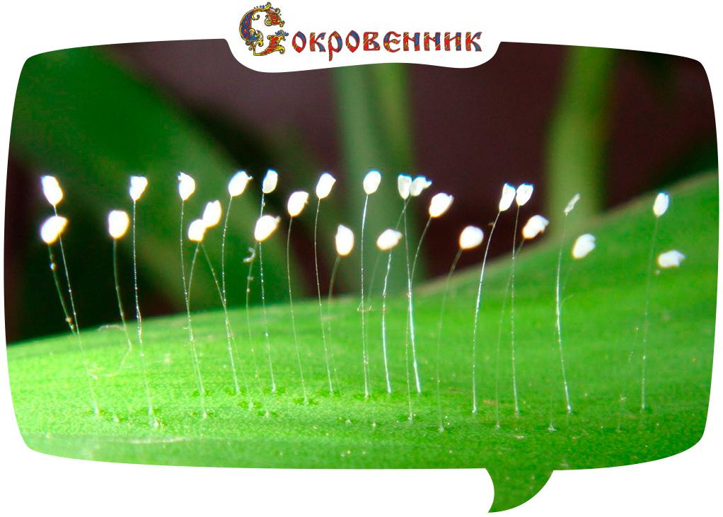 Удумбара - цветок с небес